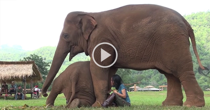 Amazing Moment at Thai Sanctuary as Caretaker Sings Lullaby for Two Elephants