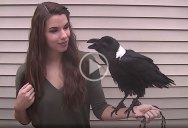 This Talking Raven is Amazing