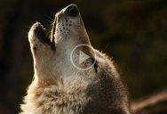 """An Artist Found 70 Pictures Googling """"Wolves"""" and Created This"""