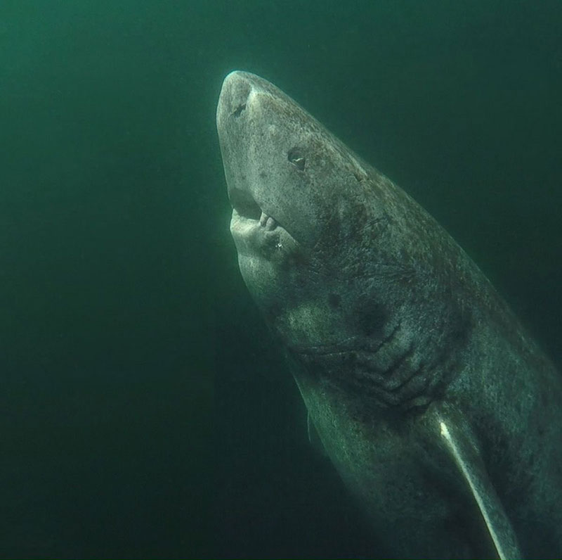 worlds oldest vertebrate greenland shark This Greenland Shark is the Oldest Living Vertebrate Known on the Planet