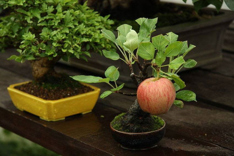 bonsai trees with fruit 2 Bonsai Fruit Trees are a Thing and Theyre Pretty Adorable (11 Photos)