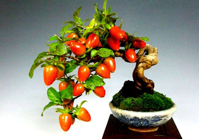 bonsai trees with fruit 5 Bonsai Fruit Trees are a Thing and Theyre Pretty Adorable (11 Photos)