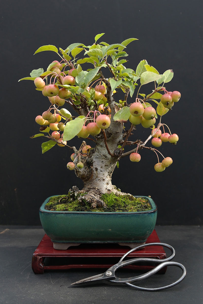bonsai trees with fruit 6 Bonsai Fruit Trees are a Thing and Theyre Pretty Adorable (11 Photos)
