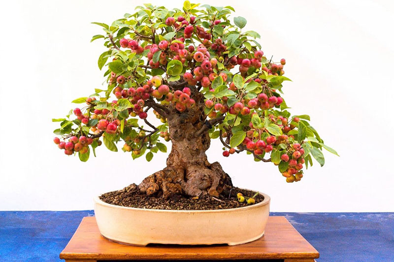 bonsai trees with fruit 7 Bonsai Fruit Trees are a Thing and Theyre Pretty Adorable (11 Photos)