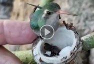 Just a Tiny Hummingbird Feeding Its Even Tinier Babies