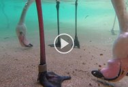 Just In Case You've Never Seen What Flamingos Feeding (from Underwater) Looks Like