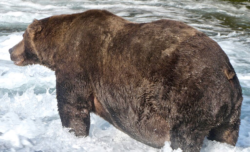 After 500,000 Votes, Bear 747 Crowned 2020 Champion of Fat Bear Week