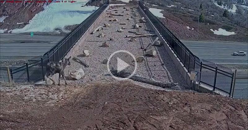 The Range of Animals That Use This Wildlife Bridge in Utah is Amazing