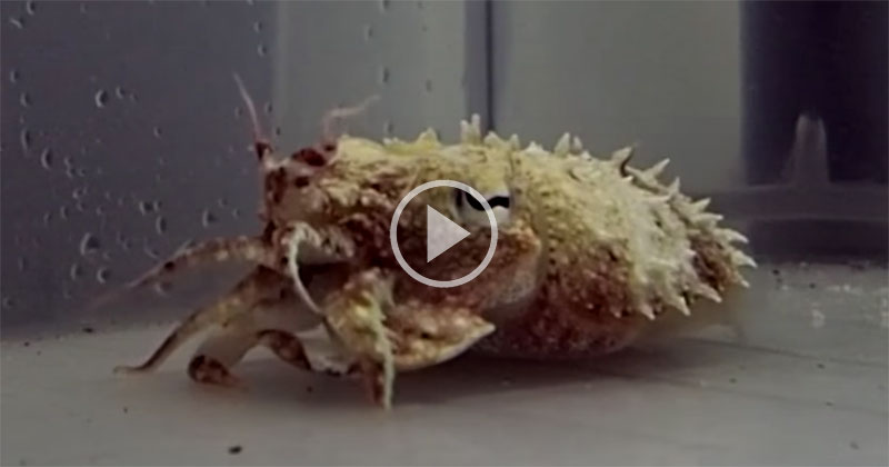 Incredible Shape-Shifting Cuttlefish Morph Into Hermit Crabs Right Before Your Eyes