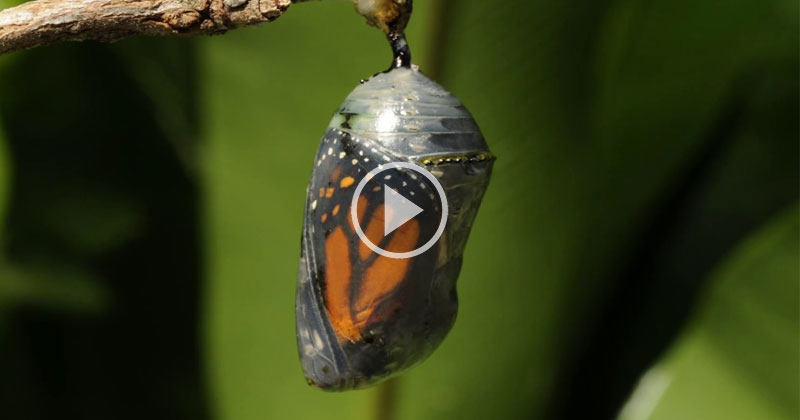 This Timelapse of a Monarch Butterfly Emerging From Its Cocoon is Incredible
