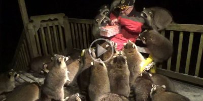 If You've Never Seen a Man with Hot Dogs Mobbed by 25 Raccoons, Have You Really Seen It All?