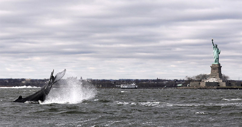 Humpback Spotted in New York Harbor Near Statue of Liberty