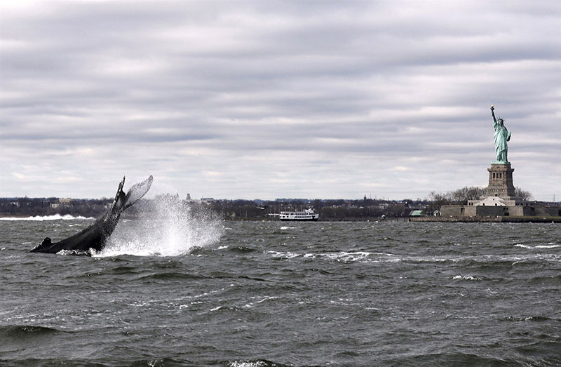 humpback spotted in new york harbour near statue of liberty 2020 Humpback Spotted in New York Harbor Near Statue of Liberty