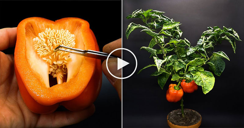 4-Month Time Lapse Growing Red Bell Peppers from a Single Seed
