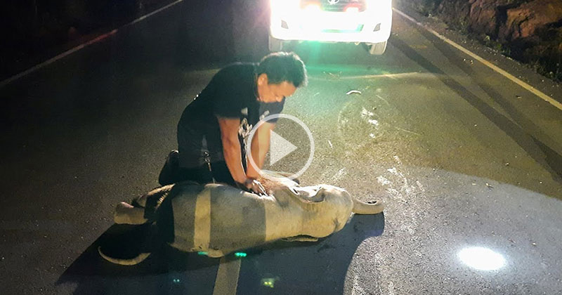 Off-Duty Rescue Worker Successfully Administers CPR to Baby Elephant Struck by Motorist