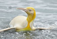 Ultra Rare, Canary Yellow Penguin Spotted on Remote Island in the Atlantic