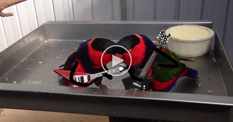 Someone Gave These Birds Guitars and It Was the Best Idea Ever