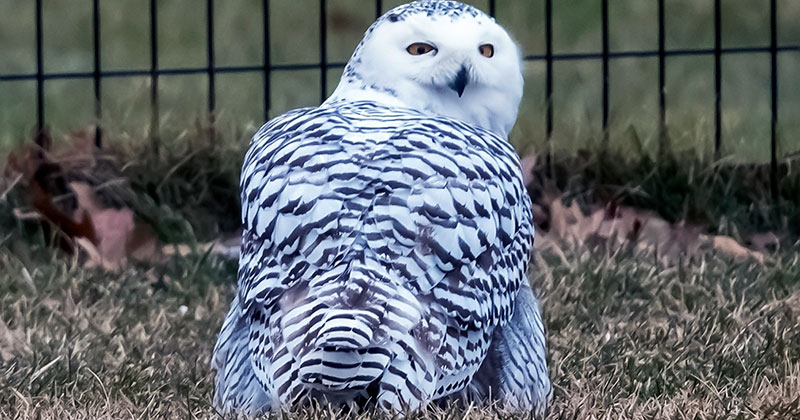 snowy owl central park 2021 Snowy Owl Spotted in Central Park for First Time in 130 Years