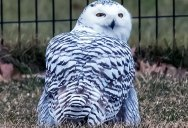 Snowy Owl Spotted in Central Park for First Time in 130 Years