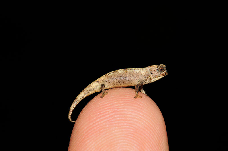 worlds smallest reptile madagascar 1 New Contender for Worlds Smallest Reptile Discovered in Madagascar