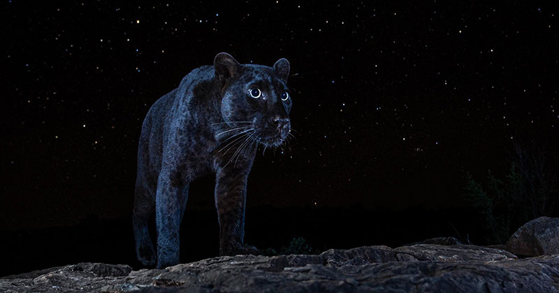 Photographer Waits 6 Months to Capture This Rare Black Leopard at Night