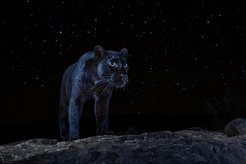 black leopard at night rare photo kenya will burrard lucas Photographer Waits 6 Months to Capture This Rare Black Leopard at Night