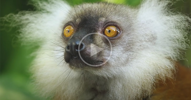 Lemurs Getting High Off Millipedes is the Wildest Thing You'll See Today