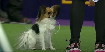 Gabby the Papillon Crushes Agility Course (and Randomly Births a Shrek Meme)