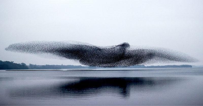murmuration of starlings forms giant bird Murmuration of Starlings Forms Giant Bird