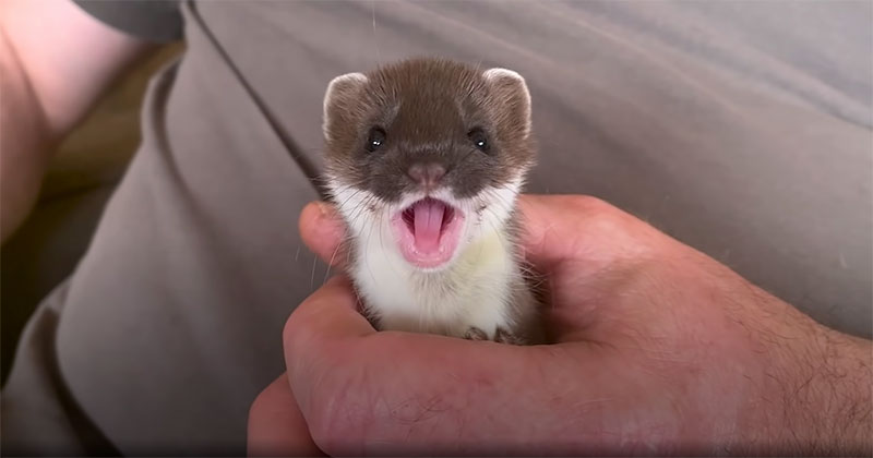 The Heartwarming Story of Two Baby Stoats that Were Rescued and Released Back Into the Wild