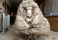 Sheep Shorn of 35 kg (77 lbs) of Fleece After Being Rescued in Australia