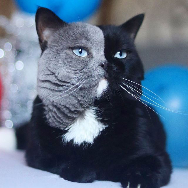 Cat with Bicolor Face Fathers Kittens of Each Color 1 Cat with Bicolor Face Fathers Kittens of Each Color