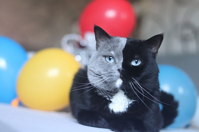 Cat with Bicolor Face Fathers Kittens of Each Color 5 Cat with Bicolor Face Fathers Kittens of Each Color