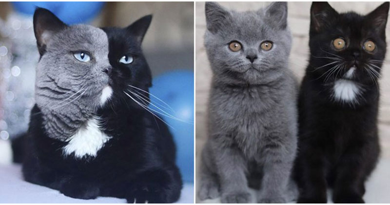 Cat with Bicolor Face Fathers Kittens of Each Color
