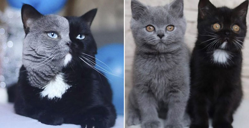 Cat with Bicolor Face Fathers Kittens of Each Color 9 Cat with Bicolor Face Fathers Kittens of Each Color