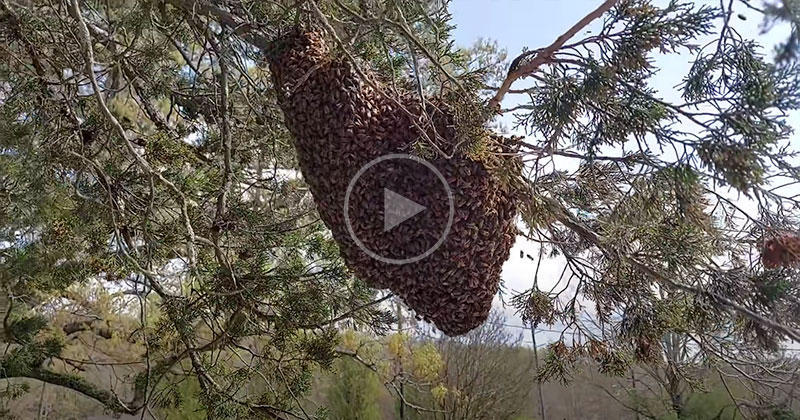 Professional Bee Remover Casually Shakes Giant Swarm of Bees Off Branch