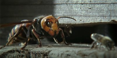 Japanese Honey Bees Kill Giant Hornet Scout with Heat