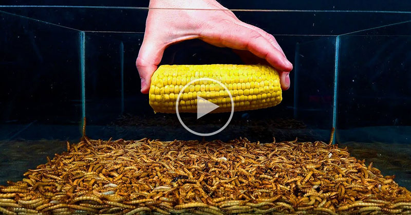10,000 Mealworms Devouring Various Foods