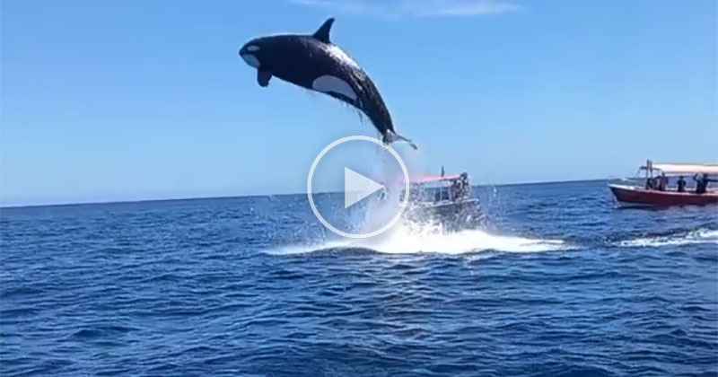 Orca Strikes Dolphin Mid-Air While Soaring 15 ft Above Water