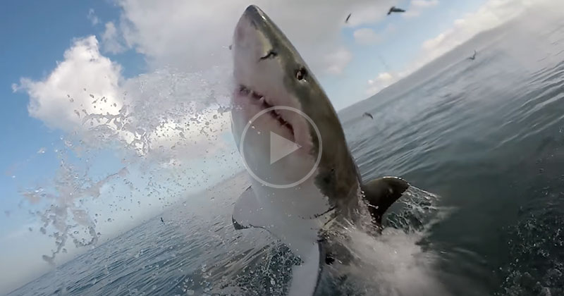 Extreme Close Up Encounter with Great White Shark in Gansbaai, South Africa
