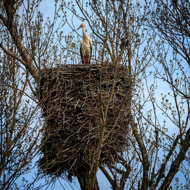 stork bird with epic huge nest Pride of Ownership