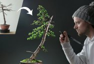Amazing 1 Year Transformation of Japanese Larch Bonsai Tree