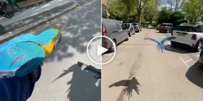 Guy on Bike Takes His Parrots Out for a Fly Around the Neighborhood