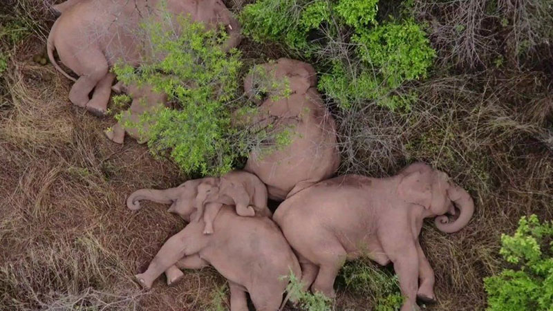 wandering elephant herd takes nap 1 This Herd of Elephants Taking a Group Siesta is So Precious