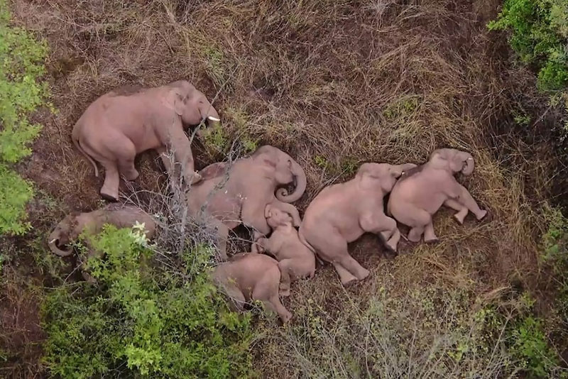 wandering elephant herd takes nap 2 This Herd of Elephants Taking a Group Siesta is So Precious