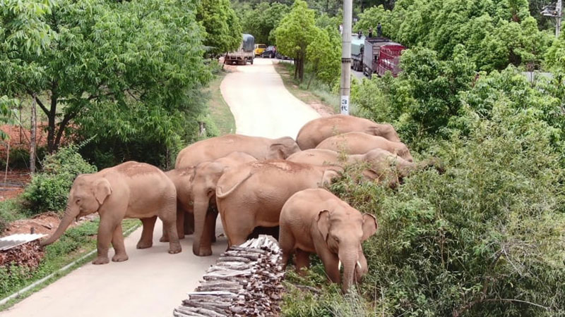 wandering elephant herd takes nap 3 This Herd of Elephants Taking a Group Siesta is So Precious