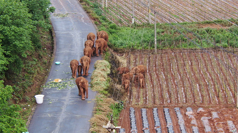 wandering elephant herd takes nap 5 This Herd of Elephants Taking a Group Siesta is So Precious