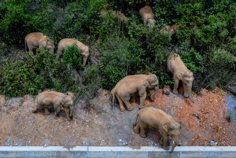 wandering elephant herd takes nap 6 This Herd of Elephants Taking a Group Siesta is So Precious