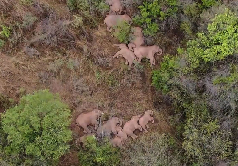 wandering elephant herd takes nap 7 This Herd of Elephants Taking a Group Siesta is So Precious