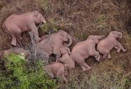 This Herd of Elephants Taking a Group Siesta is So Precious